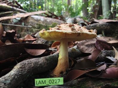 Amanita_LAM0227